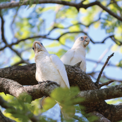 blue eyed cockatoos