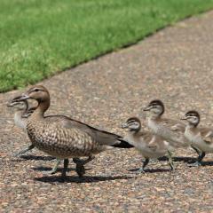 duckling family walking
