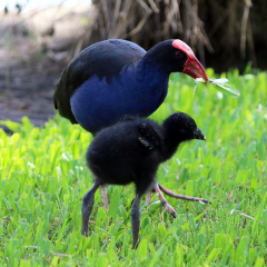 swamphen and baby
