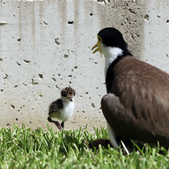 baby plover and mother